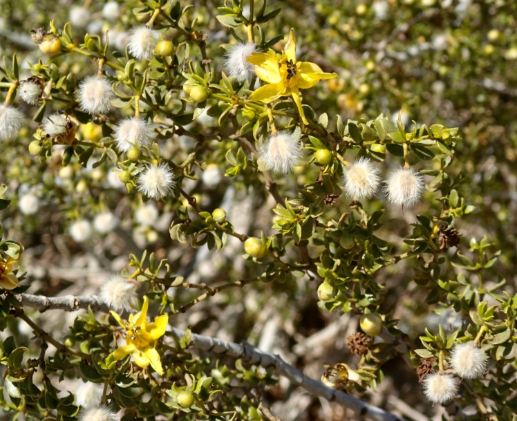 Photo of a creosote bush in full bloom