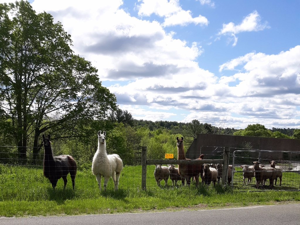 Fenced-n field with sheep and alpacas